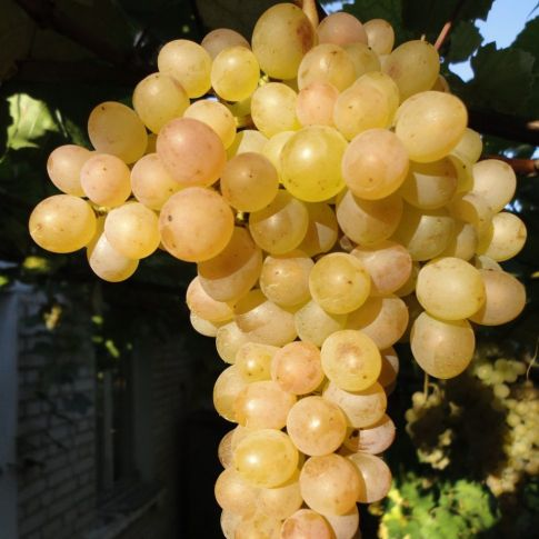 виноград русский янтарь фото твой